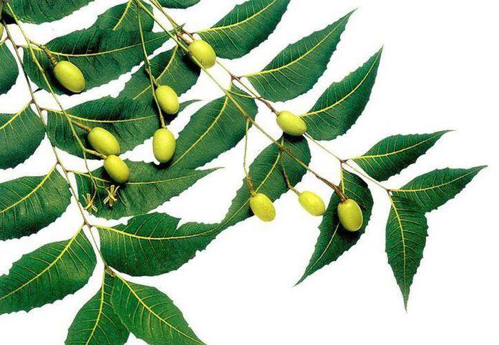 El neem posee propiedades astringentes y cicatrizantes, al igual que sirve para tratar la artritis y la reuma. (dinkal.org)
