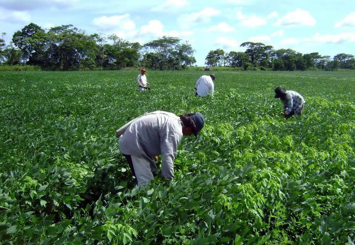 En el último año las hectáreas de soya se cuadruplicaron. Imagen de archivo. (Milenio Novedades)