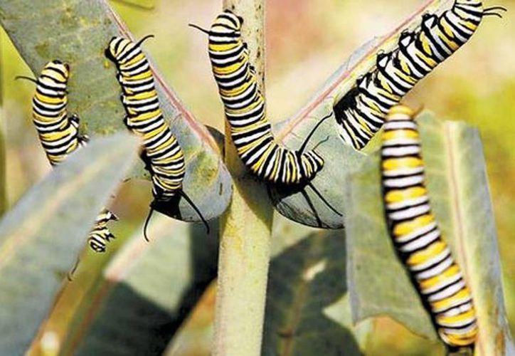 """Especialistas del Instituto de Biología de la UNAM confirmaron que los ejemplares son crías de """"Danaus plexippus"""". (Nelly Salas/Milenio)"""
