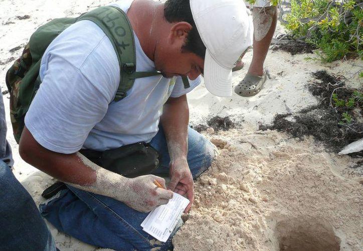 En Playa del Carmen existen tres campamentos tortugueros que cuentan con permisos legales para resguardar a la especie. (Redacción/SIPSE)