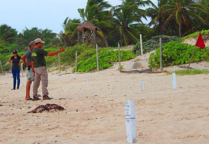 Inicia estudio en nidos de tortugas. (foto: SIPSE)