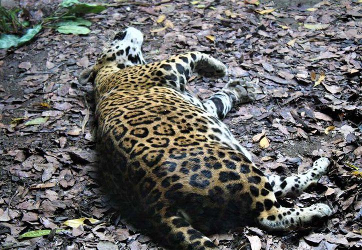 Uno de los dos jaguares del Zoológico Payo Obispo murió. (David De La Fuente/SIPSE)
