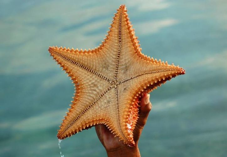 Las estrellas marinas, son afectadas en su desarrollo natural al sacarlas de su medio ambiente. (Foto de Contexto/Internet)