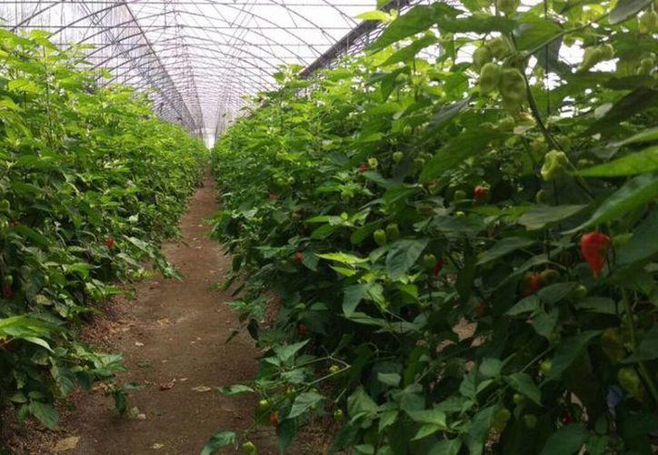 Existen al menos 15 invernaderos sociales dedicados a la producción de chile habanero. (Benjamín Pat/ SIPSE)