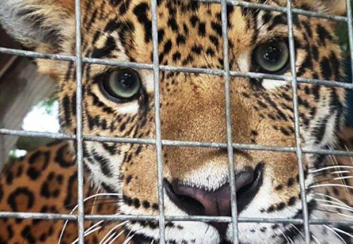 Se aplicarán de uno y hasta nueve años de prisión a quien trafique jaguares, entre otras especies. (Foto: contexto Internet)