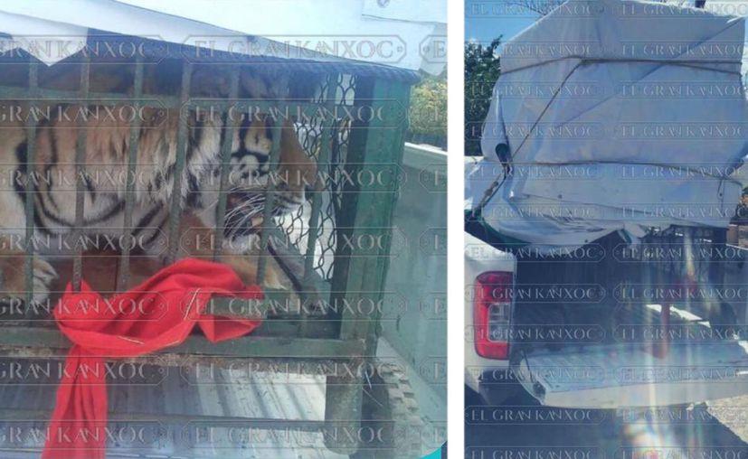 El tigre de bengala se encontraba en la cama de la camioneta. (Imágenes tomadas de El Gran Kanxoc)
