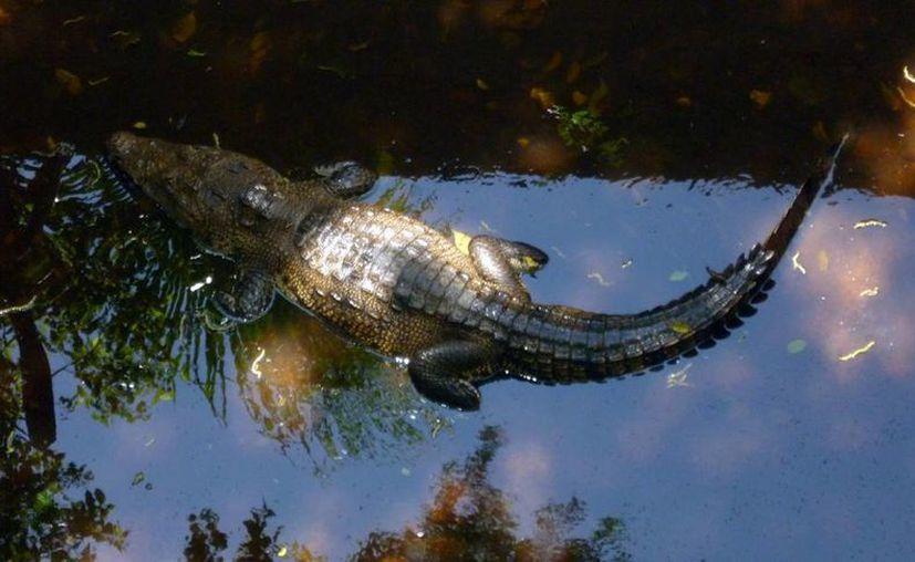 El cocodrilo moreletti es una especie que está bajo protección especial federal. (SIPSE)