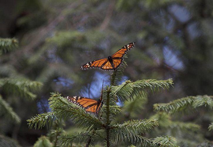 La Comisión Nacional de Áreas Naturales Protegidas calcula que esta temporada 2015-2016 la ocupación de mariposas Monarca será mayor al doble de 2014-2015. (Archivo/Notimex)