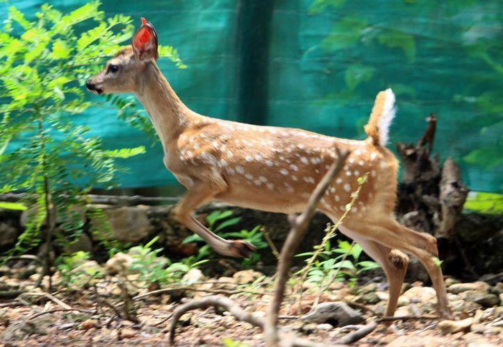 En las Unidades de Manejo para la Conservación de la Vida Silvestre se producen o exhiben especies de vida silvestre. (Milenio Novedades)