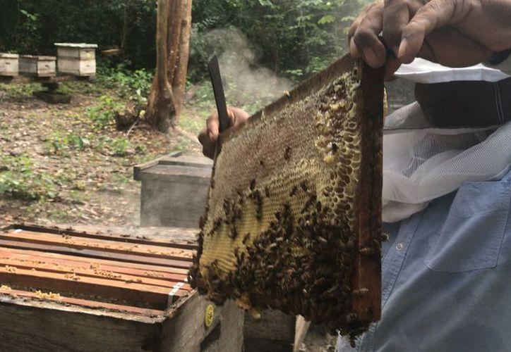La apicultura en México está amenazada por la producción ilegal de soya genéticamente modificada. (Javier Ortiz/SIPSE)