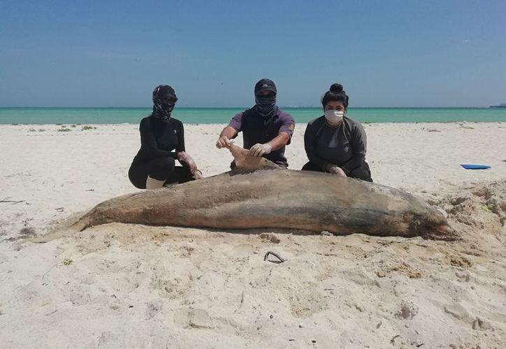 El doctor en ciencias marinas, Raúl Díaz Gamboa, explicó que un 99.9 por ciento de los mamíferos que encallan no sobrevive y la mayoría de los que llegan a las playas son delfines. (Novedades Yucatán)