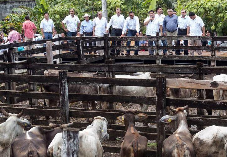 El gobernador Rolando Zapata dio el banderazo de la distribución de mil 554 vientres de ganado en Yucatán. (Milenio Novedades)