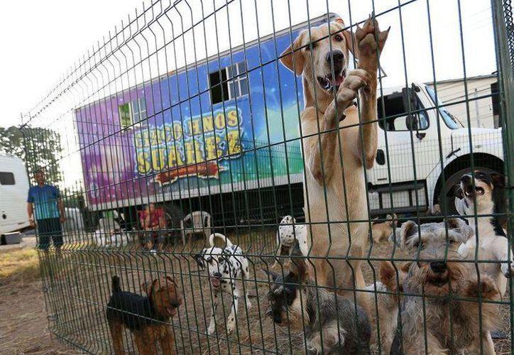 Los animales domésticos que ingresen con los circos deberán cumplir con todas las medidas sanitarias. En la imagen, el circo de los Hermanos Suárez, durante su estancia en enero pasado en Panamá (Foto: www.laestrella.com.pa)