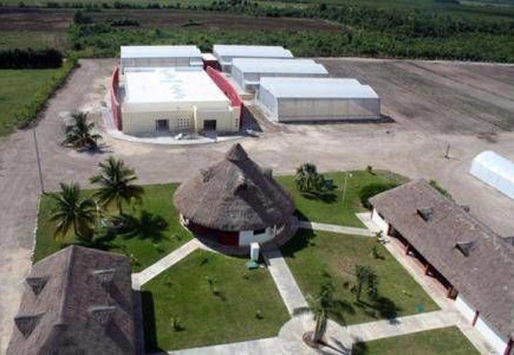 Busca generar especímenes mejorados de la planta que permitan la siembra de 1 mil 500 hectáreas de este cultivo en Quintana Roo, Campeche y Veracruz. (Agencias)