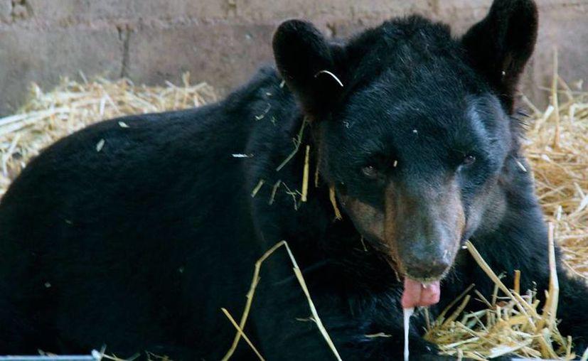 El oso 'Invictus', quien fue durante varios años 'estrella' de un circo, falleció el año pasado como consecuencia del maltrato. Este lunes, la PGR detuvo al dueño del circo que explotaba al animal. (Archivo/SIPSE)