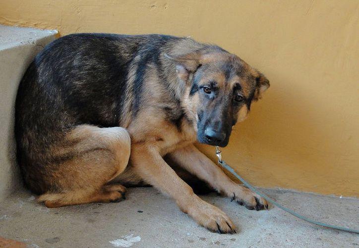 Lo que siente un perro cuando escucha un petardo es como un ataque de ansiedad o de pánico que se presenta de diferente manera en cada canino. (Imagen ilustrativa tomada de internet)