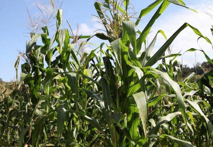 Productores campechanos pretenden colocar en el mercado industrial de Yucatán 300 mil toneladas de maíz, de las 500 mil a 600 mil que producen en cada ciclo. (SIPSE)
