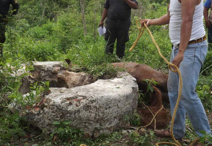 Un caballo que estaba amarrado se cayó a un pozo y se ahorcó. (Luigui Domínguez/SIPSE)