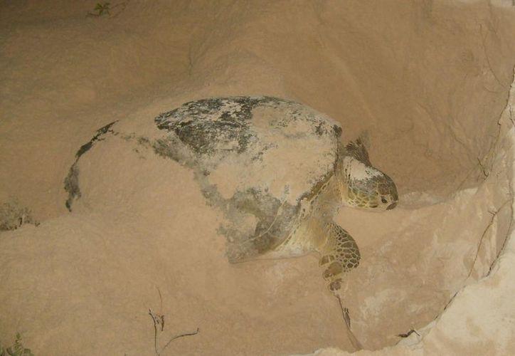 Pronatura Yucatán asegura que el rastreo satelital permitió obtener mayor información del comportamiento de las tortugas marinas. (@Pronatura_Yuc)