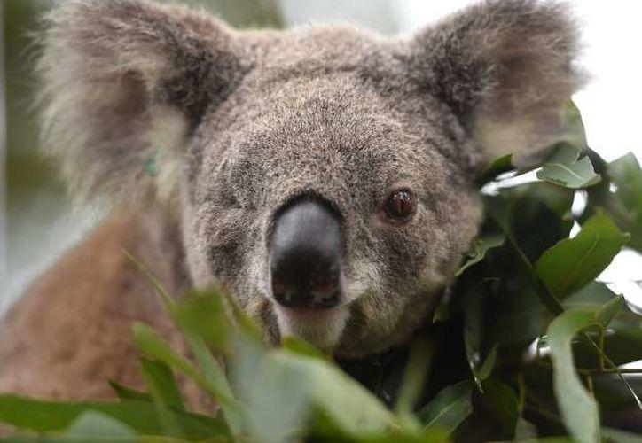Los koalas del este de Australia están en peligro de extinción debido a la creciente tala de árboles. (AFP)