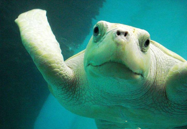 Tortugranja registra hasta 12 tortugas albinas cada año. (Tomás Álvarez/SIPSE)