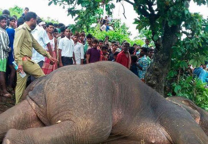 La decisión de matar al elefante se tomó después de un intento de administrarle sedante para capturarlo. (Foto: Infobae)