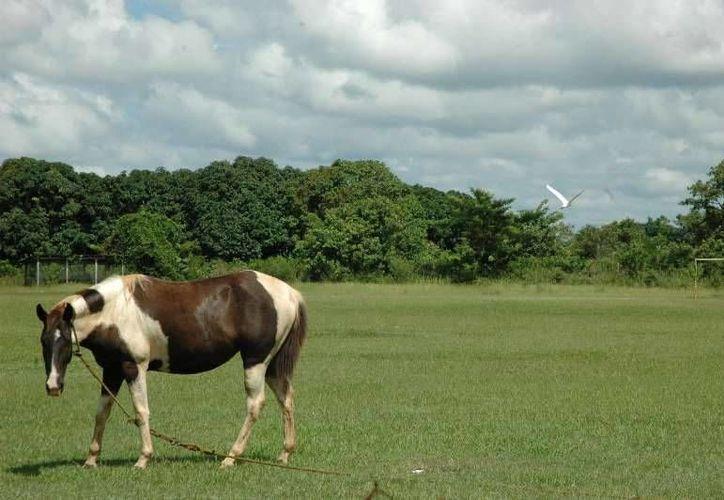 El ministerio de agricultura de Belice notificó ante la OIE la presencia de dos focos de EEV en equinos. (Edgardo Rodríguez/SIPSE)