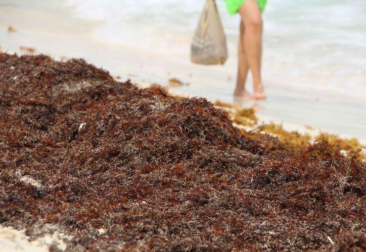 La especie que está llegando a las costas del Mar Caribe, es de color rojiza. (Paola Chiomante/SIPSE)