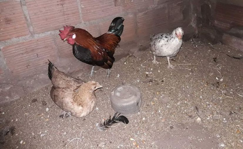 La crianza de animales en los traspatios genera inconformidad por el mal olor, ya que no se les da mantenimiento apropiado. (José Chi/SIPSE)