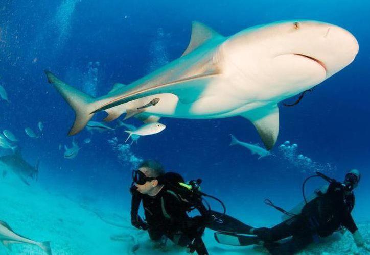 Agregaciones de tiburones toro, se encuentran en aguas poco profundas de Playa del Carmen. (Internet)
