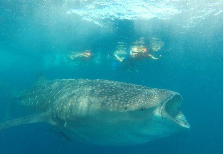 Aseguró que en los últimos dos años las campañas del tiburón ballena y la del Museo Subacuático, son las de mayor impacto . (Redacción/SIPSE)