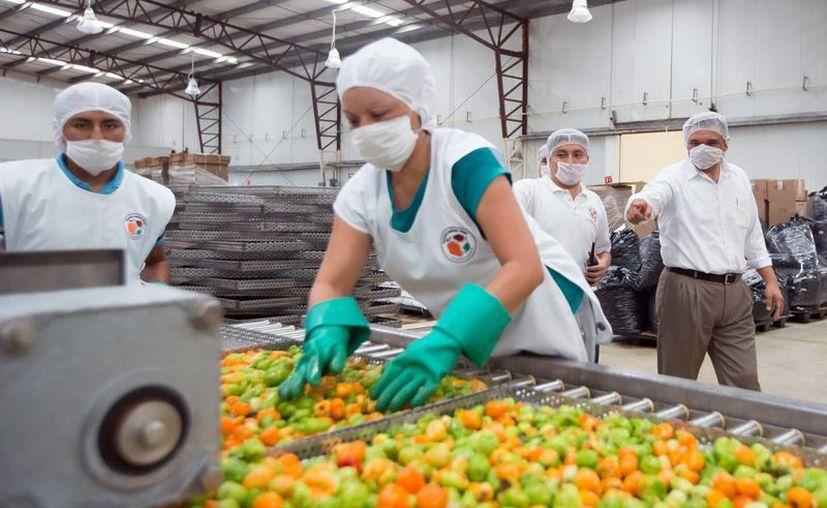 El chile habanero se exporta, entre otros países a Japón, Corea y Estados Unidos. (Milenio Novedades)