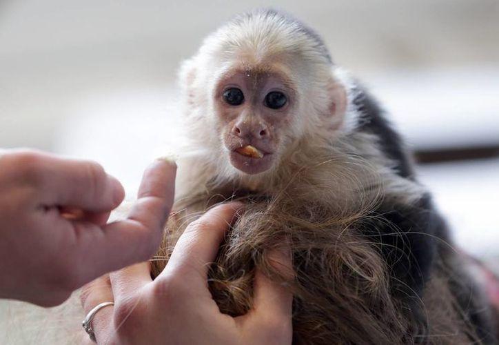 El mono Mally fue decomisado el 28 de marzo por las aduanas alemanas. (Agencias)