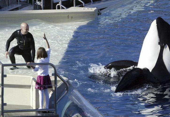 El espectáculo de las orcas de SeaWorld no se verá más, pero los cetáceos seguirán recibiendo órdenes de sus entrenadores. (AP Photo/Bizuayehu Tesfaye)
