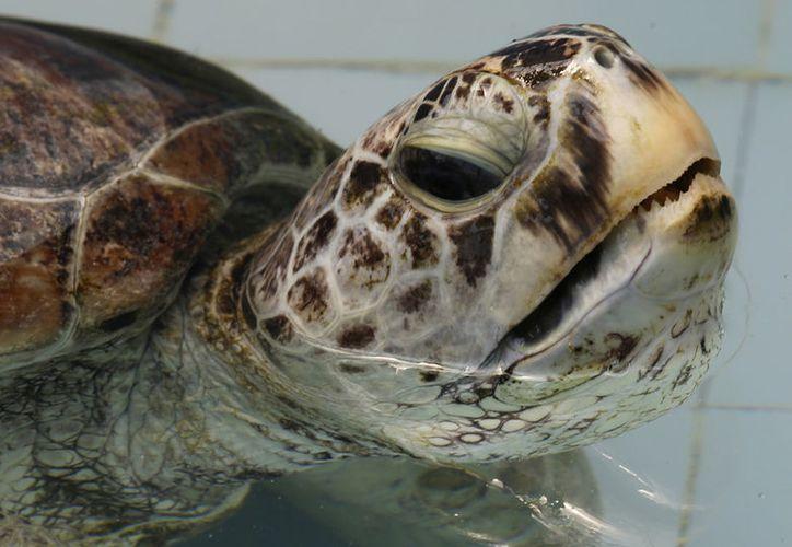 """Imagen que muestra a la tortuga marina apodada """"Bank"""" nadando en una piscina en el Centro de Conservación de Tortugas Marinas en la provincia de Chonburi en Tailandia.  (AP/Sakchai Lalit)"""