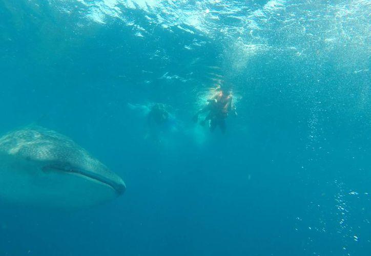 El nado con el tiburón ballena es una actividad turística que se ofrece en las costas de Quintana Roo. (Tomás Álvarez/SIPSE)