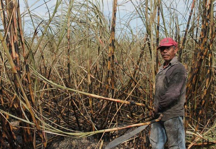 Los cortadores de caña dependen de las inclemencias del clima para lograr la estimación. (Edgardo Rodríguez/SIPSE)