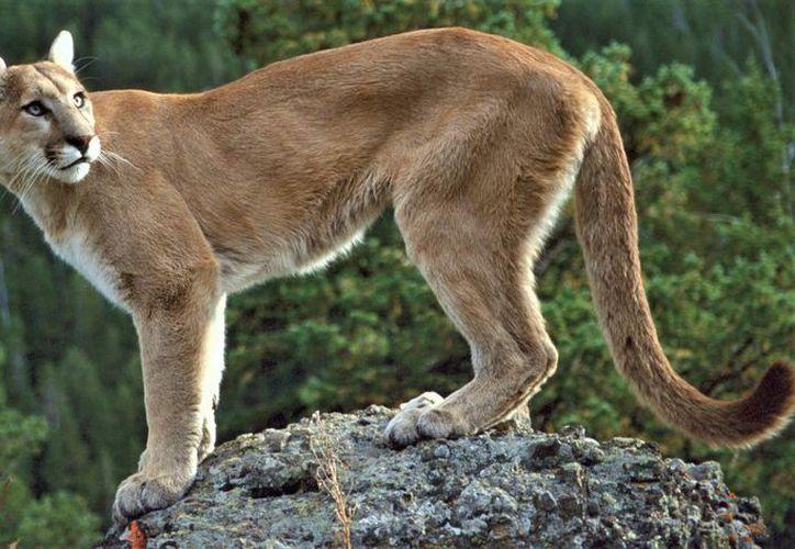 No existen pruebas de la existencia del puma del este desde 1938, el último año que fue visto con vida por alguna persona. (Foto: Academia Doc Files)
