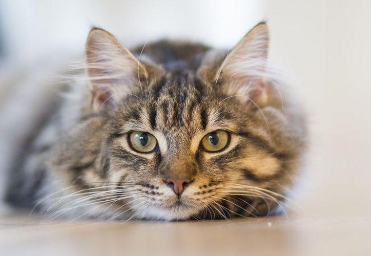 Se estima que alrededor de dos mil millones de personas en todo el mundo han sido infectadas por el parásito Toxoplasma gondii, transmitido por los gatos. (elperiodico.com)
