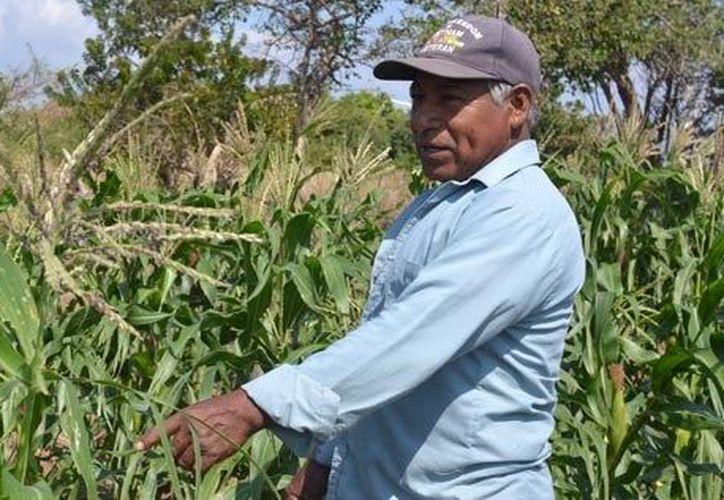 Los trabajadores del campo en Bacalar urgen a las autoridades del agro por apoyos para sus cultivos de maíz, frijol, granos básicos, hortalizas, etc. (Carlos Castillo/SIPSE)