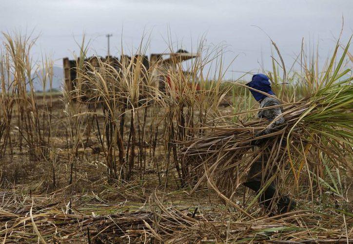 Monsanto anunció su retiro del mercado azucarero brasileño, hecho que afecta a unos 150 trabajadores. (EFE)