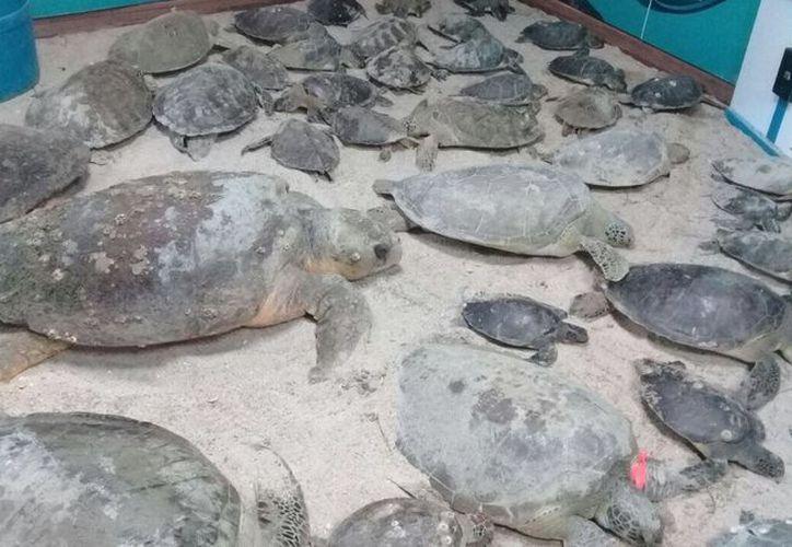 Las tortugas rescatadas se encuentran en recuperación, y luego serán liberadas al mar. (Foto: Twitter)