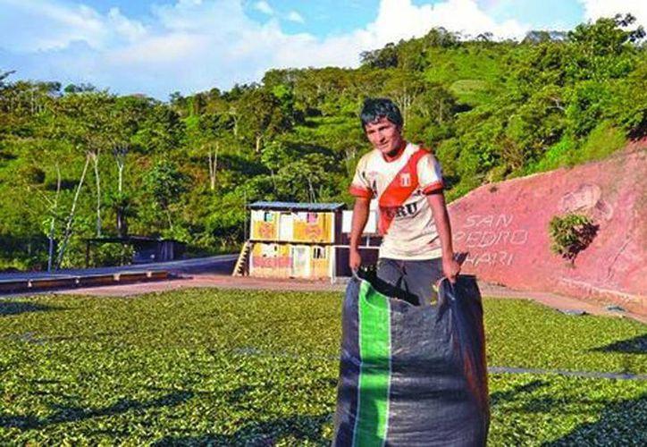 """Campesinos peruanos siembran la coca para venderla a los intermediarios conocidos como """"las firmas"""". (Sandra Weiss/Milenio)"""