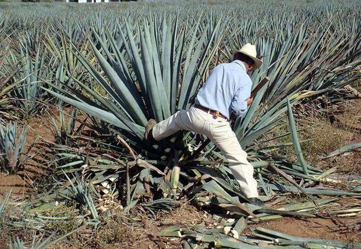 El tequila que proviene del agave (foto) llegará a China como también lo harán el limón y el mango mexicanos. (gardenofeaden.blogspot.com/contexto)