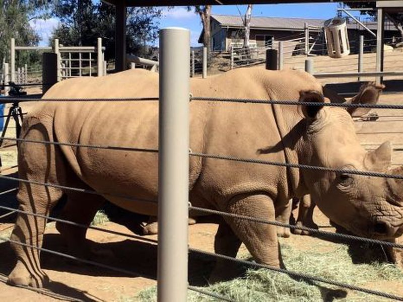 Scientists will be watching closely to see if the rhino named Victoria can carry her calf to term over 16 to 18 months of gestation. (AP)