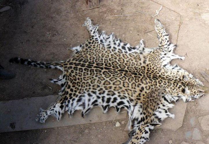Al locatario de un parador turístico en Valladolid se le encontraron cinco pieles de las que no pudo acreditar la posesión legal. (Milenio Novedades)