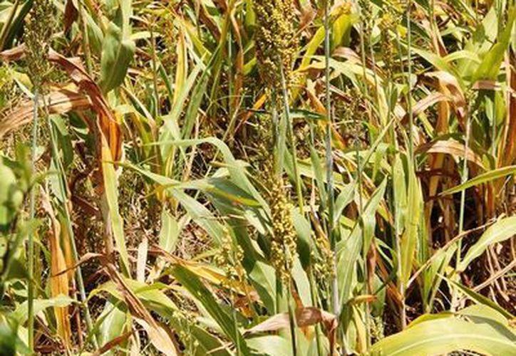 Productores apícolas temen que los productos transgénicos les ganen terreno de cultivo. (Harold Alcocer/SIPSE)