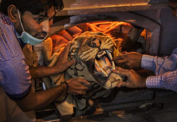 Autoridades indias sostienen una piel de tigre antes de colocarla con el resto de artículos decomisados que fueron quemados para disuadir la cacería furtiva el domingo 2 de noviembre de 2014. (AP/Tsering Topgyal)