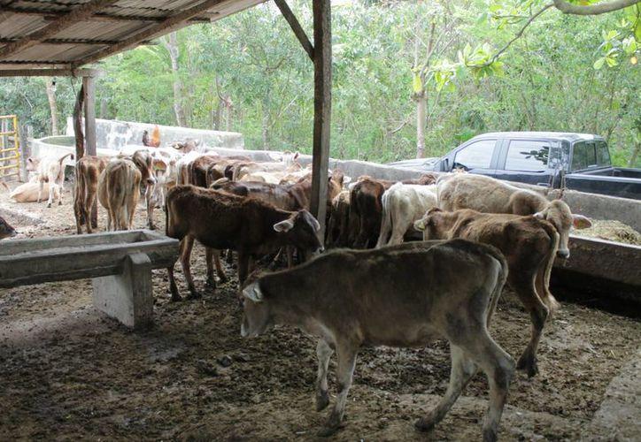 En lo que va del año solo se han presentado seis denuncias por robo de ganado. (Harold Alcocer/SIPSE)