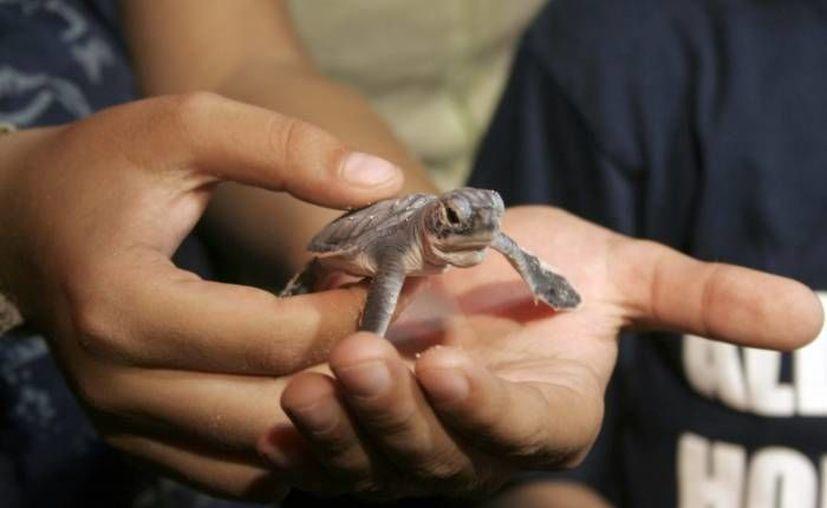 Se han puesto en libertad a 5 mil 730 crías de tortuga cahuama y blanca. (Archivo/SIPSE)